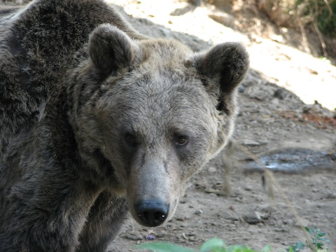 Bear Watching Holidays in Bulgaria